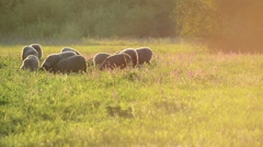 Small flock of sheep in a pasture in sunset light Stock Footage