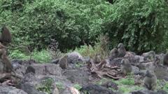 Wild Baboon Monkey in African Botswana savannah Stock Footage