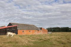 Barn and meat cow in flanders meadow between ghent and bruges in belgium Stock Photos