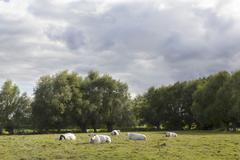 White cows in flanders meadow between ghent and bruges in belgium Stock Photos