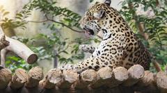 Leopard rest on wood floor. Stock Footage