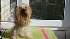 Yorkshire terrier against the background of a window. Stock Footage