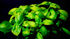 Sweet Basil growing in time lapse Stock Footage