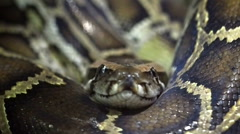 Thai python snake, head close up. Stock Footage