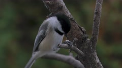 Chickadee breaking open a sunflower seed closeup Stock Footage
