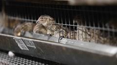 Feeding quail on the farm Stock Footage