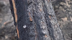 Burned Slug at a tree after a forest fire Stock Footage