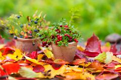 Cranberries and blueberry fall leaves on wooden background autumn Stock Photos