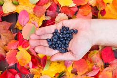 Fresh forest blueberries in hand fall leaves wooden background autumn Stock Photos