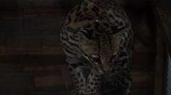 Footage ocelot sitting in the zoo cage. 4K Stock Footage