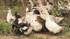 A flock of domestic ducks  Stock Footage
