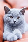 Young cute cat resting on leather sofa. The British Shorthair pedigreed kitte Stock Photos