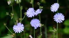 Blue flowers of wild chicory Stock Footage