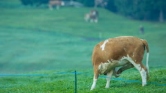 Cows grazing in alpine meadows Stock Footage