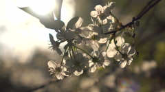 Flowering branches close up and a ray of sunshine Stock Footage
