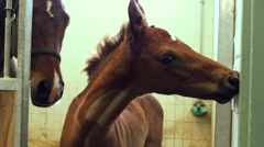 Foal horse, mum horse in the background Stock Footage