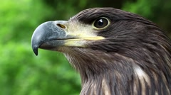 Sea eagle head Stock Footage