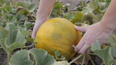Сlose-up of hands rip off ripe melon in the field. Melon on organic plantation. Stock Footage