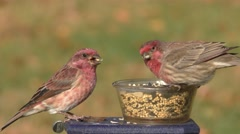 Purple Finch (Carpodacus purpureus) Stock Footage