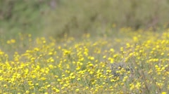 View of Mustard field Stock Footage