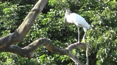 Wood stork in Florida Stock Footage
