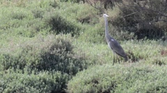 Steady shot of Grey heron in the grass Stock Footage