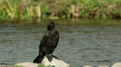 Cormorant (Phalacrocorax carbo) preening Stock Footage