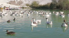 A flock of ducks and gesses are swimming on the pond Stock Footage