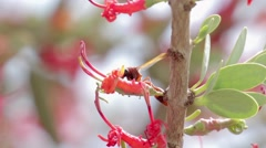 Ant on acacia strap flower Stock Footage