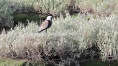 Spur winged plover Stock Footage