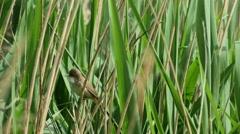 Reed Warbler bird (Acrocephalus scirpaceus) singing Stock Footage