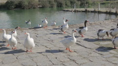 A flock of ducks and gesses are walking on a green meadow Stock Footage