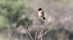 Stonechat bird on a Brach Stock Footage