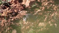 Eurasian jay bird Stock Footage