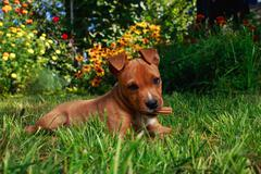 Puppy breed American Staffordshire Terrier Stock Photos
