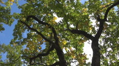 Deep blue sky, oak yellowed leaves, white clouds Stock Footage