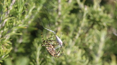 Spider caught the butterfly, part 1. Spider caught the butterfly and bonds it Stock Footage