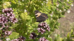 Butterfly on flower collecting nectar. Stock Footage