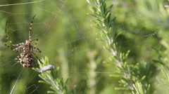 Spider caught the butterfly, part 5. Spider hangs  the cocoon and waits Stock Footage