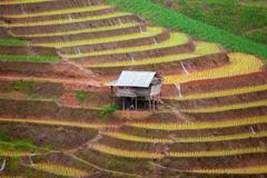 Green Terraced Rice Field in Pa Pong Pieng Stock Photos
