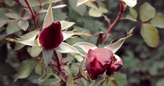 Two rose buds in autumn garden. Blooming season is over but rosebush is trying Stock Footage
