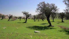 Olive tree in Israel West bank Stock Footage
