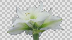 Time-lapse of opening white amaryllis Christmas flower with ALPHA channel Stock Footage