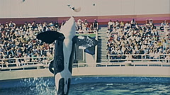 Los Angeles 1977:  killer whale show at Marineland of the Pacific Stock Footage