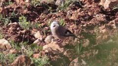 Medium shot of Eurasian Jay bird on the ground Stock Footage