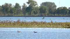 Flock of birds flying over lake, Sweden. Nature background with wildlife. Stock Footage