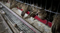 Feeding quail hens Stock Footage
