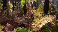 Fern fronds in fall colours in forest in autumn Stock Footage