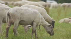 Sheep flock in German countryside Stock Footage
