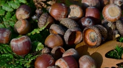 Fallen red oak acorns on the forest floor and acorn falling on top of them Stock Footage